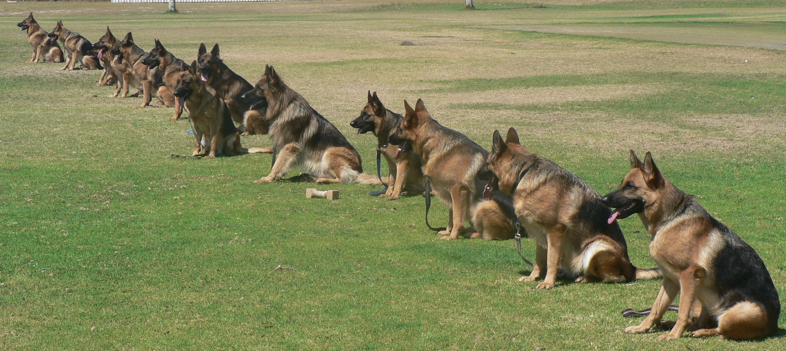 German shepherd training jhb
